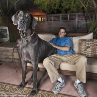MEET GEORGE the Blue Great Dane